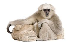 Young Pileated Gibbon, 1 year, Hylobates Pileatus, sitting with - stock photo