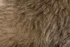 Close-up of Young Pileated Gibbon's fur, 1 year , Hylobates Pile - stock photo