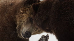 Close up as two grizzly bears horseplay in the snow - stock footage