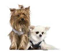 Yorkshire Terrier and Chihuahua, 3 years and 18 months old, sitt - stock photo
