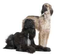 Two Afghan hounds, 1 and 2 years old, in front of white backgrou - stock photo