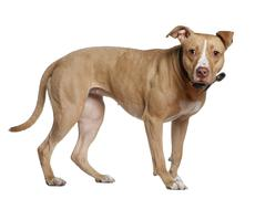 American Staffordshire Terrier, 3 years old, standing in front o - stock photo