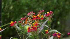 Monarch Butterfly Laying Eggs On Milkweed Plant. 4k Stock Footage