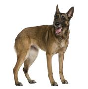 Belgian Shepherd dog, 9 years old, standing in front of white ba - stock photo