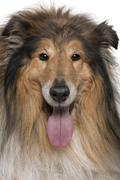 Close-up of Rough collie with tongue out, 5 years old, in front Stock Photos