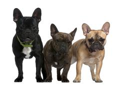 Three French bulldogs, 8 months, 23 months, and 2 and a half yea Stock Photos