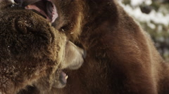 Close up on two grizzly bears playfully biting at each other Stock Footage
