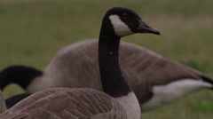 Close up on Canadian goose's head Stock Footage