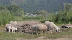 Sheep graze at Dal Lake,Srinagar,Kashmir,India Stock Footage