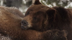 Two snow covered grizzly bears horse play in the snow Stock Footage
