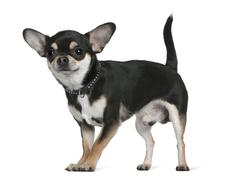 Chihuahua, 18 months old, standing in front of white background Stock Photos