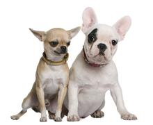 French bulldog and Chihuahua, 5 months old and 1 and a half year Stock Photos