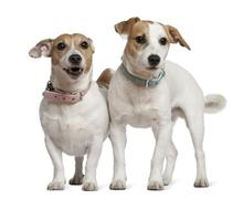 Two Jack Russell terriers, 5 years old and  6 months old, standi - stock photo