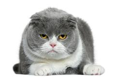 Scottish fold cat, 5 years old, lying in front of white backgrou Stock Photos