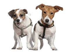 Portrait of two Jack Russell terriers, 2 years old, in front of white background Stock Photos
