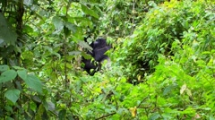 Great silverback Mountain Gorilla in the Bwindi National Park in Uganda Stock Footage