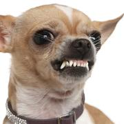 Close-up of angry Chihuahua growling, 2 years old, in front of w - stock photo