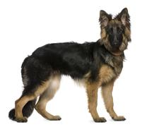 Stock Photo of German Shepherd dog, 7 months old, standing in front of white ba