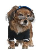 Dressed Mixed Yorkshire Terrier, 12 years old, standing in front Stock Photos