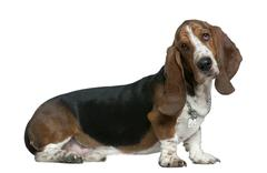 Basset hound, 22 months old, sitting in front of white backgroun Stock Photos