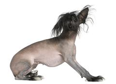 Chinese hairless crested dog, 2 and a half years old, in front o Stock Photos