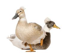 Male and Female Crested Duck, 3 years old, standing in front of white background Kuvituskuvat