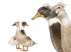Close-up headshot of Male and Female Crested Ducks, 3 years old, standing in fro Stock Photos