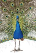 Front view of Male Indian Peafowl displaying tail feathers - stock photo
