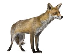 Red Fox, 1 year old, standing in front of white background - stock photo