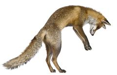 Side view of Red Fox, 1 year old, standing on hind legs in front of white backgr - stock photo
