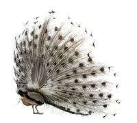 Rear view of Male Indian Peafowl displaying tail feathers in front of white back - stock photo