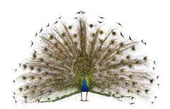 Front view of Male Indian Peafowl displaying tail feathers in front of white bac - stock photo
