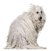 White Corded standard Poodle sitting in front of white background Stock Photos
