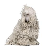 White Corded standard Poodle sitting in front of white background - stock photo