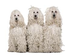 Three White Corded standard Poodles sitting in front of white background Stock Photos