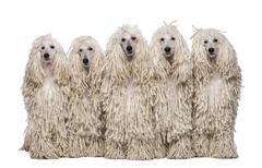 Five White Corded standard Poodles sitting in front of white background Stock Photos