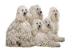 Stock Photo of White Corded standard Poodle against white background
