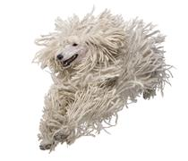 Front view of White Corded standard Poodle running in front of white background Stock Photos