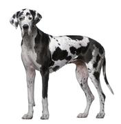 Great Dane, 5 Years old, standing in front of white background - stock photo
