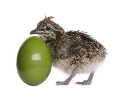 Elegant Crested Tinamou and egg, 10 hours old, in front of white background Stock Photos