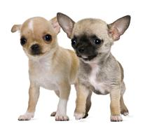 Two chihuahua puppies, 2 months and 3 months old, in front of white background - stock photo