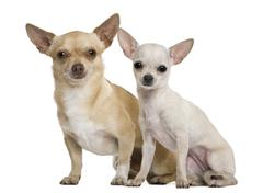 Two chihuahuas, 2 years and 7 months old, in front of white background - stock photo