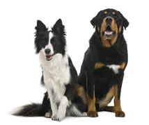 Mixed-breed 5 years old and border collie, 18 months old, in front of white back Stock Photos