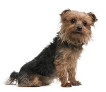 Yorkshire terrier, side view, looking away in front of white background Stock Photos