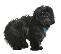Shih Tzu, 5 years old, standing in front of white background - stock photo
