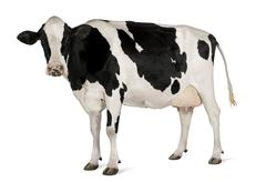 Holstein cow, 5 years old, standing against white background Stock Photos