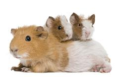 Mother Guinea Pig and her two babies against white background Stock Photos