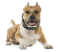 American Staffordshire Terrier, 5 years old, lying in front of white background Stock Photos