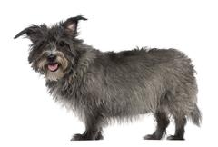 Mixed-breed, 8 years old, standing in front of white background - stock photo