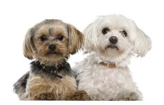 Maltese, 8 years old,, Yorkshire terrier, 12 months old, lying in front of white Stock Photos